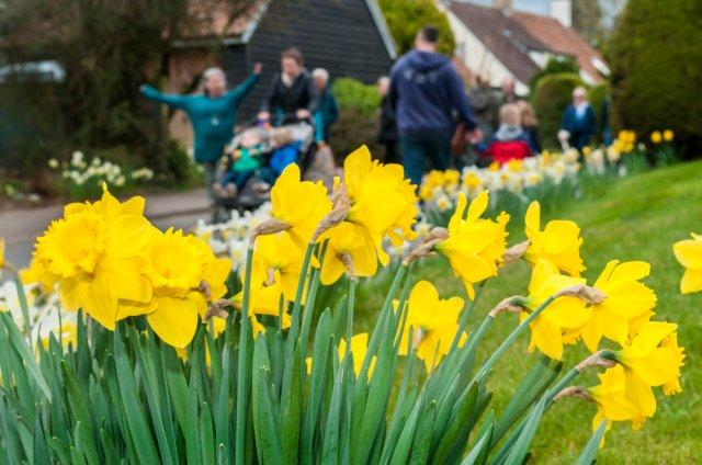 Daffodil+Weekend-2+20cm